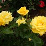 藍住町の薔薇園ではたくさんの中で黄色い薔薇が際立っていました。   ・黄色とは際立てる色薔薇の花(和良)