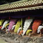 懸崖作り花壇では古木の花台の上に野菊が揃い咲いていました。     ・懸崖の野菊いづれも上に向き(和良)