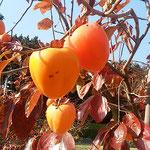 皇居東御苑の本丸跡広場の柿は木に実ったまま熟していました。     ・木に実るままに熟柿となってをり(和良)