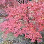 雲の上のホテルから高知市へ下る山道で見た紅葉です。         ・山深き土佐の紅葉の濃かりけり(和良)