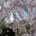 神山町の神山温泉前に大きなしだれ桜がありました。   ・しだれ咲く桜の間の空の青(和良)