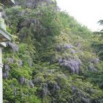 萬翠荘の裏山には見上げるばかりの山藤が花を咲かせていました。            ・山藤の上へ上へと咲きにけり(和良)