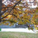 ミラノのスフォルツェスコ城ではマロニエの大樹が紅葉していました。 ・中世の城は堅牢栃紅葉(和良)