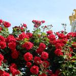 赤い薔薇はシェーンブルン宮殿の金の紋章と美を競っているようでした。 ・炎天に黄金の鷲と赤い薔薇(和良)