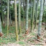 皇居東御苑の竹林では今年竹がたくましく育っていました。               ・皮つけしままに生い立ち今年竹(和良)