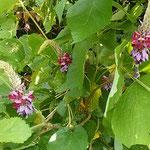 吉野川市の川島城の入口に葛の花がたくさん咲いていました。 ・山のごと茂る葉の蔭葛の花(和良)