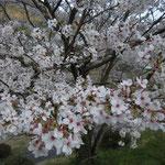 阿波市の宮川内ダム公園の桜です。大勢の人が花見に来ていました。  ・桜咲くダム湖の土手を埋め尽くし(和良)