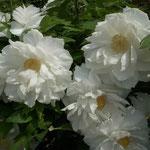 阿波市の神宮寺は今年も牡丹を見に来る人で賑わっていました。  ・白てふは飽きの来ぬ色白牡丹(和良)