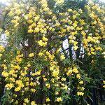 藍住町の自宅周辺の通学路で見た迎春花です。綺麗でした。 ・降り続く雨に色濃き迎春花(和良)