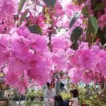 南国市の西島園芸団地のブーゲンビリアです。鮮やかな色でした。    ・とりどりのブーゲンビリア咲ける園(和良)
