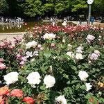 徳島市中央公園の薔薇園にはたくさんの薔薇が咲いていました。     ・薔薇の香の噎せ返るほどなる日和(和良)