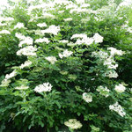 クトナーホラで水木の花を見ました。雨上がりの白が印象的でした。   ・雨上がり白の極まる花水木(和良)