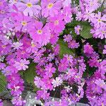 プランターの桜草は緑の葉が花の色を一段と鮮やかにしていました。   ・桜草引き立ててゐる葉の緑(和良)