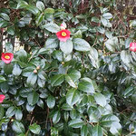 壇の大楠に寄り添うように茂った藪椿は高くまで花をつけていました。  ・仰ぎ見る椿の花の高さかな(和良)