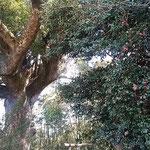 吉野川市鴨島町の檀の大楠とその隣に花をつけている藪椿の大樹です。  ・千年の大楠に添ひ藪椿(和良)