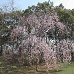 徳島市の大塚製薬能力開発研究所の枝垂桜が満開になりました。 ・咲くほどに枝垂るる枝垂桜かな (和良)