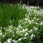北品川の御殿山の水辺で見た半夏生です。綺麗な白でした。  ・暮れてなほ片白草の白さかな (和良)