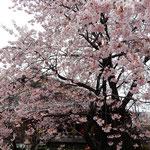 蜂須賀桜です。寒緋桜と山桜の交配種ですからもう満開でした。           ・蜂須賀の時代を今に咲く桜(和良)