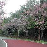 沖縄の八重岳に登りました。もう緋寒桜が咲いていました。 ・旅はるか緋寒桜の紅淡し(和良)