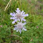 阿蘇の大観峰の花野で出合った松虫草です。群生していました。 ・群生の松虫草に出合う旅(和良)