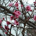 たくさんの蕾が咲く順番を待つように膨らんでいました。                 ・八重咲きの梅のふくよかなる蕾(和良)