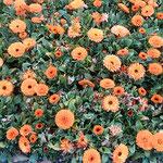 徳島市中央公園の線路に沿った庭園に金盞花も咲いていました。     ・まばゆかり雨後の日差の金盞花(和良)