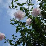 浜松市三ケ日町の吟行句会で槿の花を見ました。大きな花でした。  ・あさがほの古名もありて花槿 (和良)
