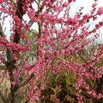 徳島市のあすたむらんどで見た紅梅です。満開でした。  ・紅梅の八重咲といふ明るさよ(和良)