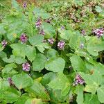 三ヶ日町の宝珠寺から奥浜名湖への道で見た葛の花です。          ・剥き出しで咲くこともあり葛の花(和良)
