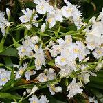 徳島市中央公園の著莪の花は徳島城址を明るくしていました。      ・著莪咲いて城址明るくなりにけり(和良)