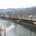 阿南市椿町の椿川では白魚を掬い取る四手網が仕掛けられていました。  ・白魚を待ち四手網並ぶ川(和良)