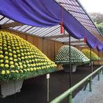 大作り花壇では個々の花の大きさも開花時期も揃っていました。     ・大菊の六百の花揃ひ咲く(和良)
