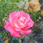 冬の薔薇は葉も花弁も寒痛みして傷だらけになっていました。      ・満身に創痍のありし寒の薔薇(和良)
