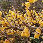 上野東照宮の牡丹園には蠟梅が犇めくように咲いていました。      ・蠟梅の犇めき咲ける明るさよ(和良)