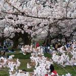 都立小金井公園で開かれた小金井桜まつりです。              ・お花見や平和な日本ありがたく(和良)