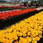 北島町のチューリップ園は1800平方メートルの広さがあります。・色競ひ合ふかのやうにチューリップ(和良)
