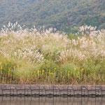 近江八幡市の水郷巡りでは岸辺に葦と芒を見ました。            ・水郷を巡る葦見て芒見て(和良)
