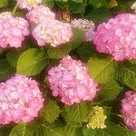 紫陽花は日向より日蔭の方の色が美しく見えました。  ・日向より日蔭の色の濃紫陽花(和良)