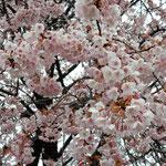 武家屋敷の公開日には蜂須賀か桜を見る人が引きも切れませんでした。      ・一本の桜に人の切れ目なく(和良)