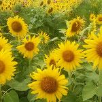 向日葵を見ているとゴッホの墓を訪れた日を思い出しました。      ・向日葵やゴッホの墓は野の中に(和良)