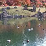 旧芝離宮恩賜庭園に鴨がたくさん来ていました。              ・浮寝鳥世は泰平でありにけり(和良)