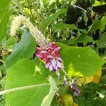 葛の花に近寄って眺めると強い香りがありました。  ・近寄れば強き香のあり葛の花(和良)