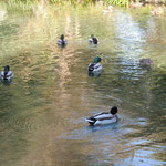 富士山本宮浅間大社の湧玉池です。天然記念物に指定されています。   ・澄む水に鴨の水輪のくっきりと(和良)