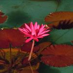 大塚国際美術館のモネの池では夜咲く睡蓮が人気を呼んでいました。        ・睡蓮の夜咲く花の色気かな(和良)