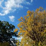 石井町藍畑の神社の境内に樟と銀杏の大木が並び立っていました。         ・青空よ樟の緑よ黄落よ(和良)