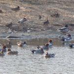 吉野川市鴨島町の江川に鴨が来ていました。時々川縁に上っていました。         ・川縁に上がりしも鴨風に向き(和良)