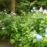 熊谷寺の紫陽花は参道に沿って本堂まで続いていました。        ・本堂へ紫陽花咲ける道登る(和良)