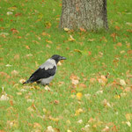 エカテリーナ宮殿の庭園に黒と白のツートンカラーの烏がいました。   ・小春日のツートンカラーの烏かな(和良)