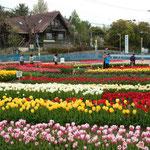 北島町のチューリップ公園です。5万本が咲き競っていました。             ・オランダの水車小屋ふとチューリップ(和良)
