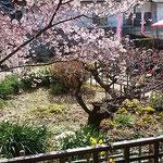 蜂須賀桜のある武家屋敷も公開され、尺八や琴の演奏がありました。   ・尺八と琴聴き花を見る宴(和良)